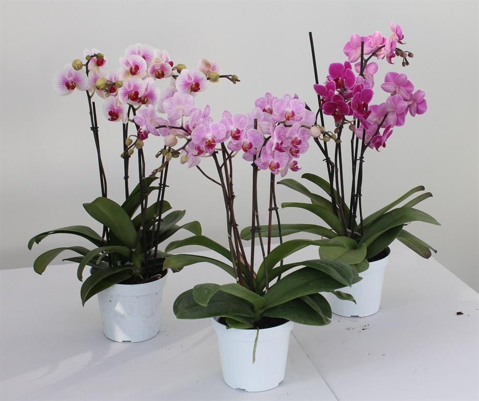 Piante Da Appartamento Orchidea.Serre Bearzot Aiello Del Friuli Ud Floricultura Fioreria