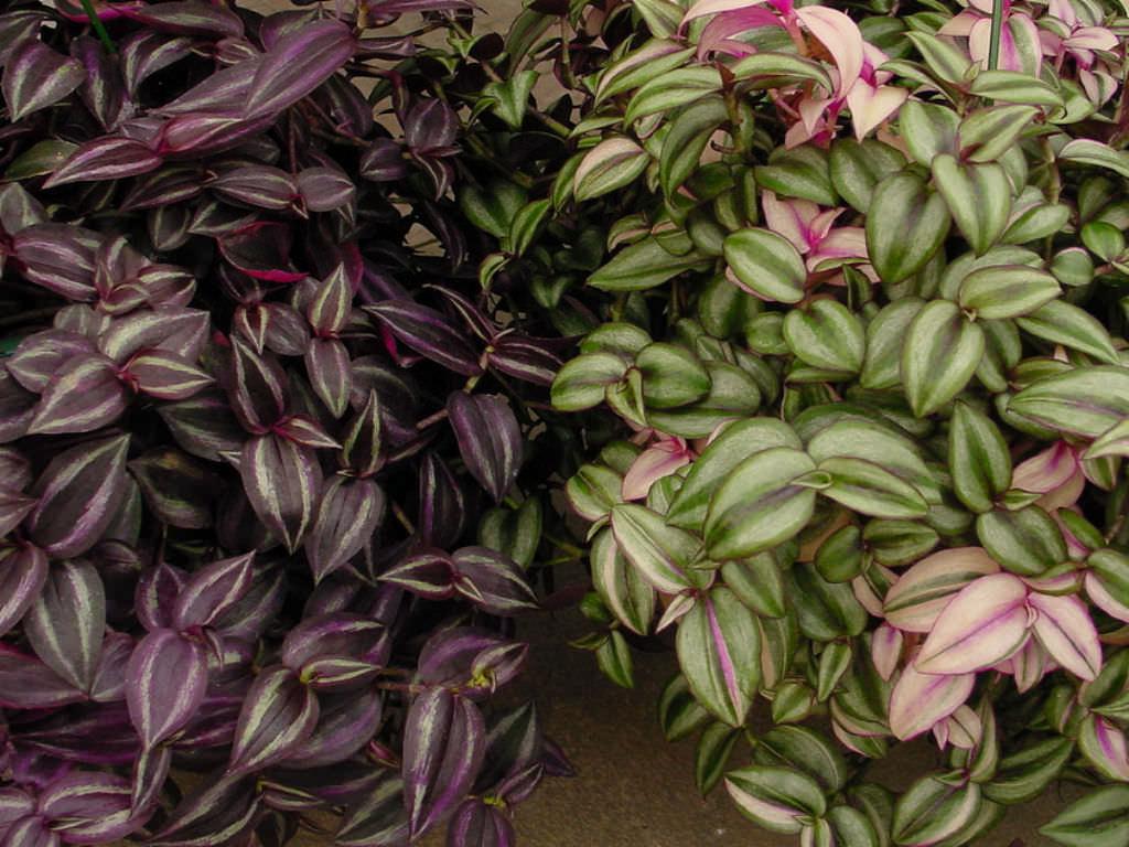 Serre bearzot aiello del friuli ud floricultura for Pianta della miseria